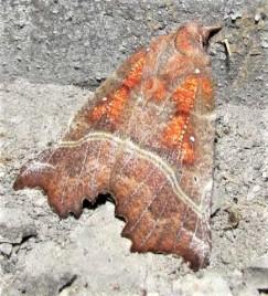 Scoliopterys libatrix c