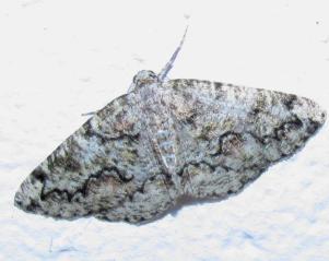 Cleorodes lichenaria e